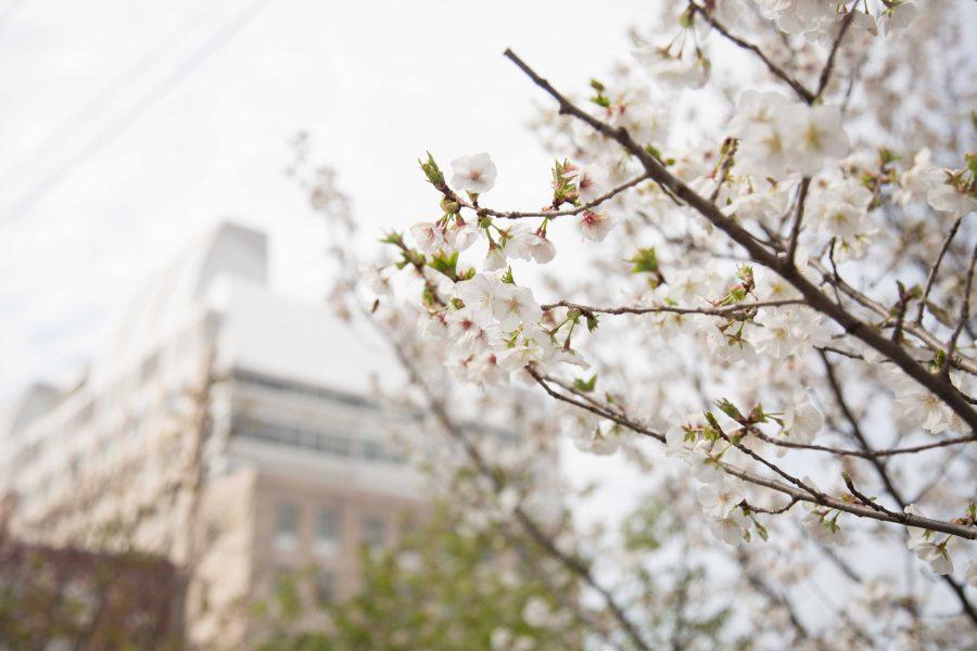 Spring at Vanderbilt. Flower blossom, taken on Friday, March 16, 2018. (Photo by Claire Barnett)