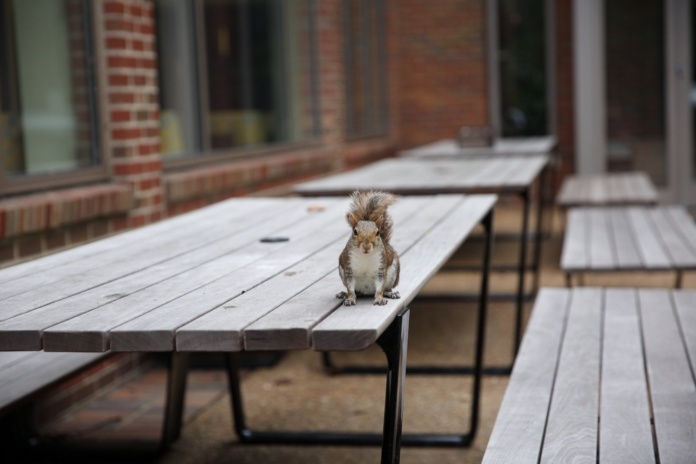 Vanderbilt squirrel