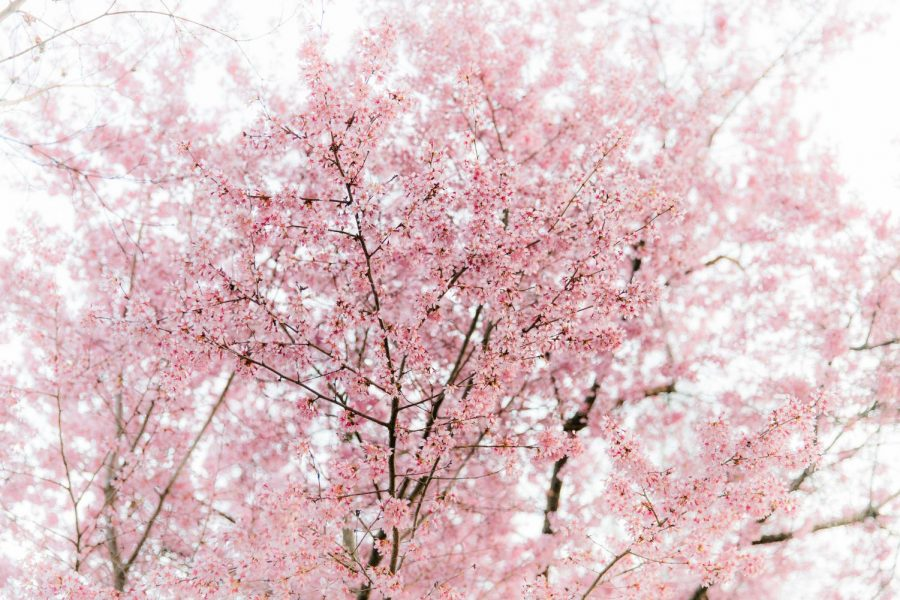 Cherry Blossoms are in bloom all around campus as spring starts to come. (Hustler Multimedia/Elle Choi)