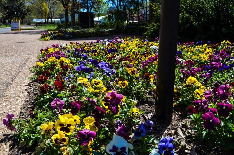 Vanderbilt flowers fully in bloom on Saturday April 03, 2021. (Hustler Multimedia/Alex Venero)