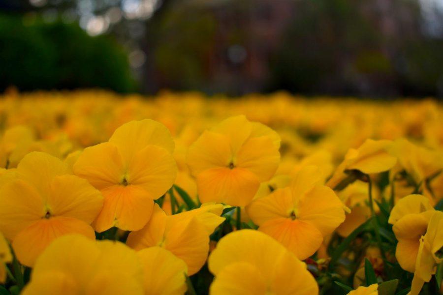 Vanderbilt flowers fully in bloom on Saturday April 03, 2021. (Hustler Multimedia/Anjali Chanda)